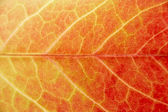 Close Up Showing Detail Of Autumn Leaf — Stock Photo