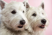 Two West Highland Terrier Dogs In Studio — Stock Photo