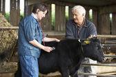 Buzağı inceleyerek veteriner ile çiftçi — Stok fotoğraf