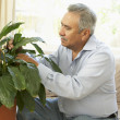 Senior Man At Home Looking After Houseplant - Stock Photo