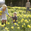 Young Family Walking Amongst Spring Daffodils - 图库照片