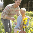 Romantic Couple Picking Spring Daffodils — Stock Photo #4841842