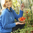 Young woman harvesting tomatoes — Stock Photo #5183968
