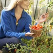 Young woman harvesting tomatoes - Stock Photo