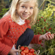 Young child harvesting tomatoes — Stock Photo #5189764