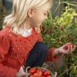 Young child harvesting tomatoes — Stock Photo #5189767