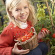 Young child harvesting tomatoes — Stock fotografie