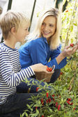 Young woman with teenager harvesting tomatoes — Foto Stock