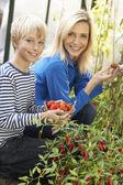 Mujer joven con adolescente cosecha de tomates — Foto de Stock