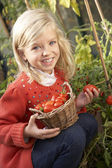 Young child harvesting tomatoes — Photo