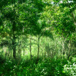 Sunlight in jungle of Dominican - Foto de Stock