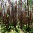 Deep forest — Stock Photo