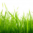 Grass isolated on the white — Stock Photo