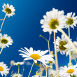 Stock Photo: Daisy flowers and summer blue sky