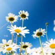 Daisy flowers and summer blue sky — Stock Photo #4494491