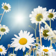 Daisy flowers and summer blue sky — Stock Photo