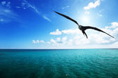 Albatross and caribbean sea — Stock Photo