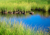 Ducks in water of mountain lake — Stock Photo