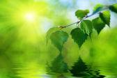 Folhas de bétula e água — Foto Stock