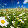 Field of daisies — Stockfoto #4607869
