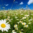 图库照片: Field of daisies