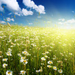Field of daisies — Foto de stock #4607879