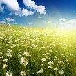 Field of daisies — Stockfoto #4607879