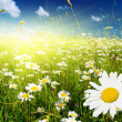 Field of daisies — Stock Photo #4607890