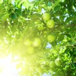 Apple tree — Stock Photo #4608011