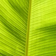 Leaf of banana — Stock Photo