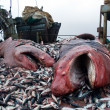 Sharks and crushed mackerel on deck factory vessel - Stockfoto