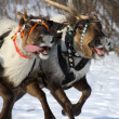 Racing of reindeers — Stock Photo