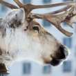 Raindeer and city - 图库照片