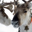 Two raindeers — Stock Photo #4608313