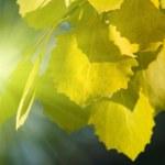Fall leaves of aspen — Stock Photo