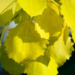 Fall leaves of aspen — Stock Photo