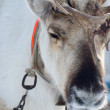 Stock Photo: Raindeer