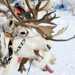 Racing of reindeers - Stok fotoraf
