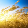 Autumn yellow grass and sunset — Stock Photo