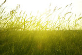Field of summer grass and sunset — Stock Photo