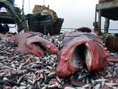 Sharks and crushed mackerel on deck factory vessel — Stock Photo