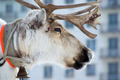 Raindeer and city — Stock Photo