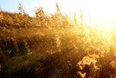 Herbe d'automne jaune — Photo