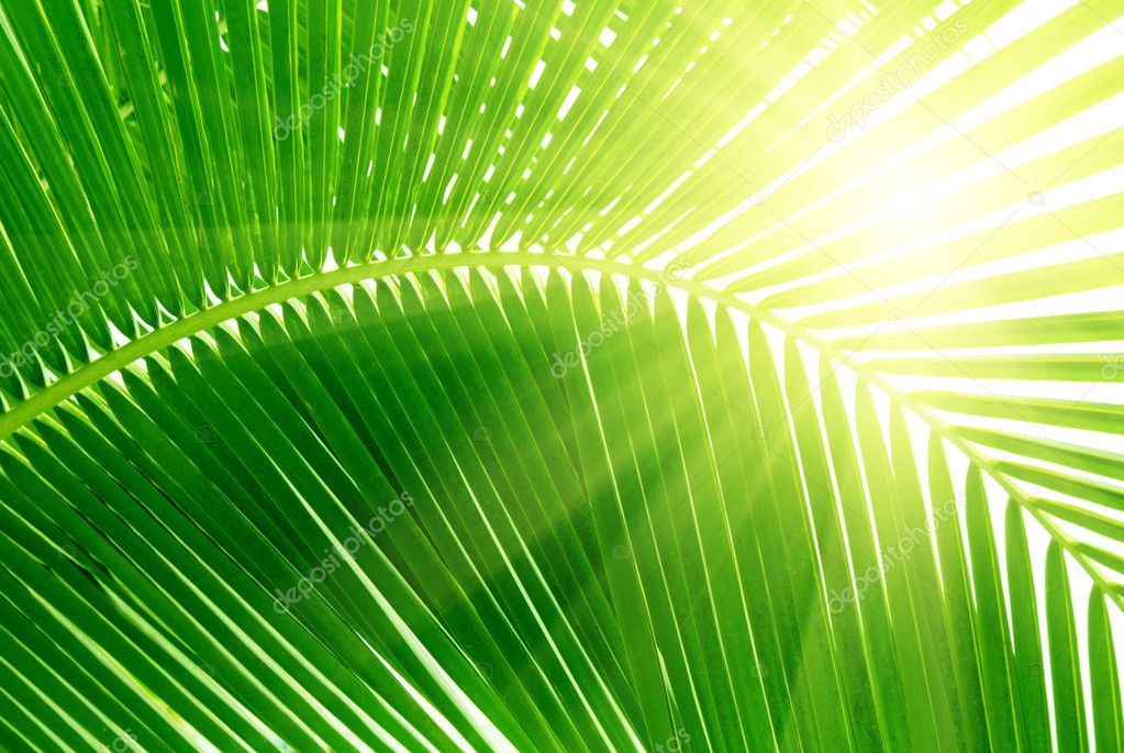 Leaves of palm and morning light — Stock Photo #4606839