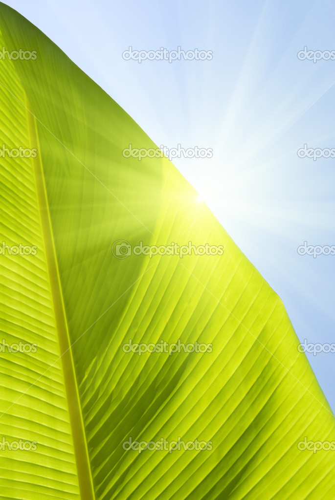 Crop of leaf banana palm — Stock Photo #4608214