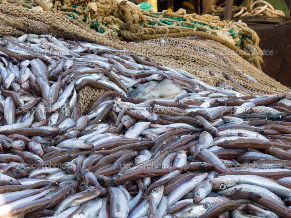 Fish on deck factory vessel stock photo iakov 4608300 for Whiting fish picture