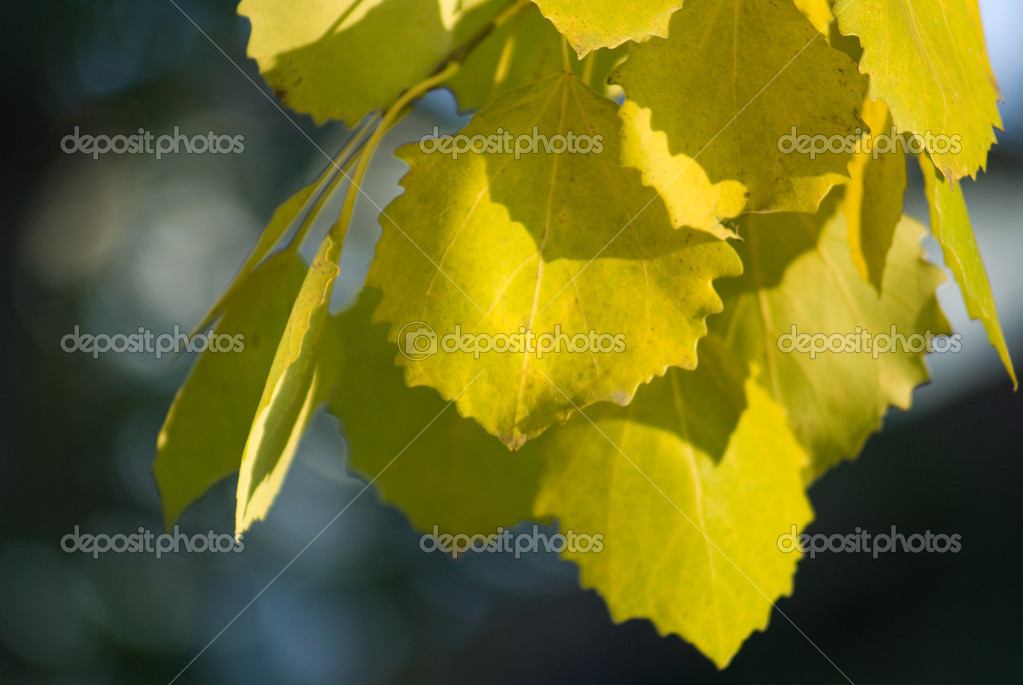 Autumn leaves of aspen — Stock Photo #4608329