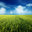 Royalty-Free Stock Photo: Oat field and sunny sky