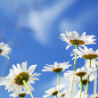 Daisy flowers — Stock Photo #4621664