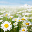 Foto de Stock  : Field of daisy flowers